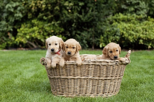 filhotes-brincando-no-cesto